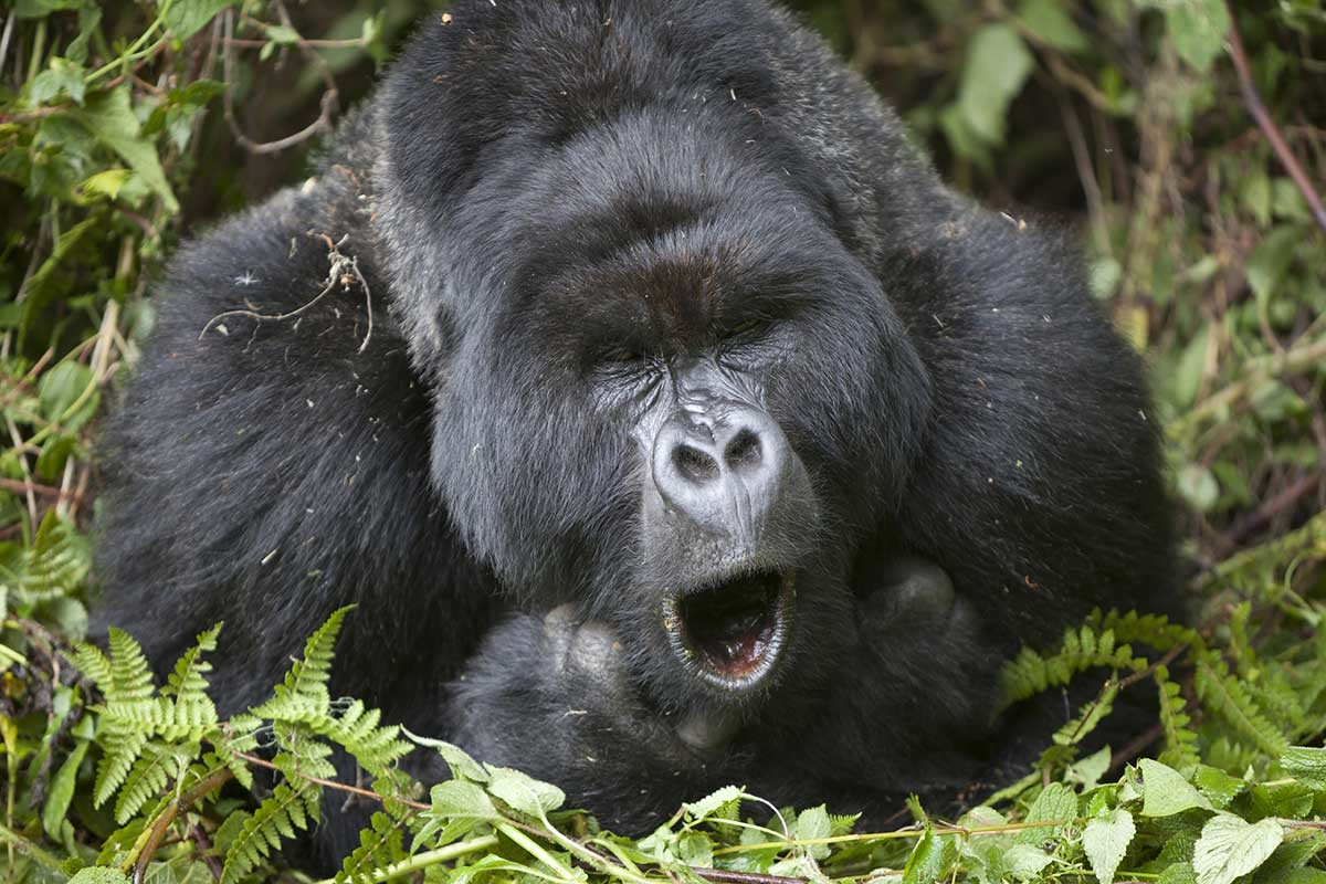 Cross River Gorillas How To Get Their Food